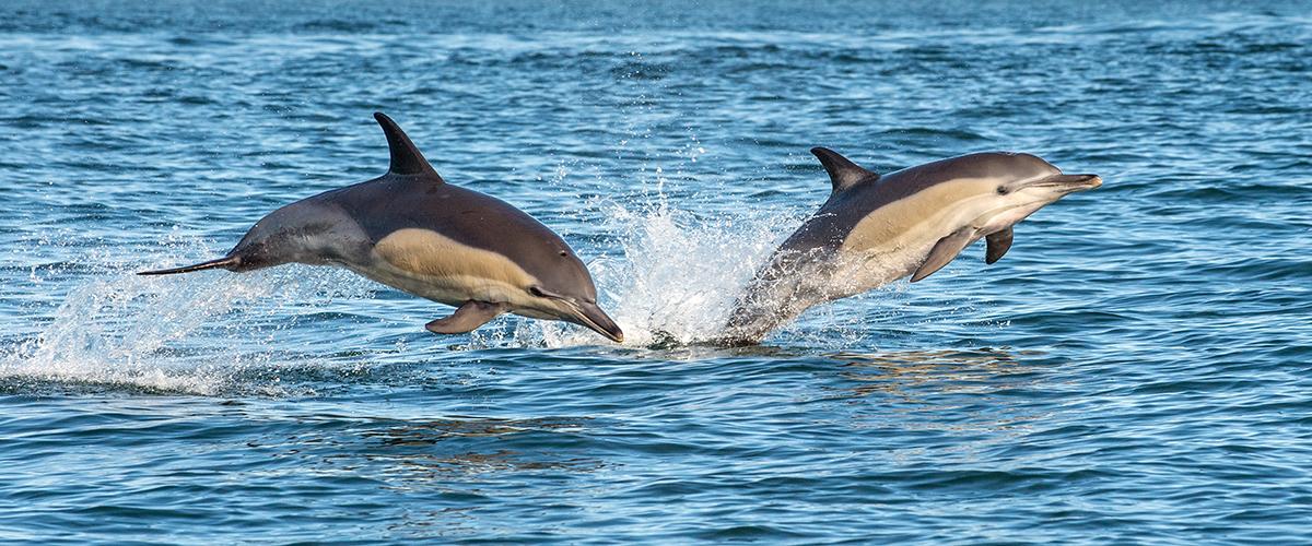 Two dolphins jumping out of the sea